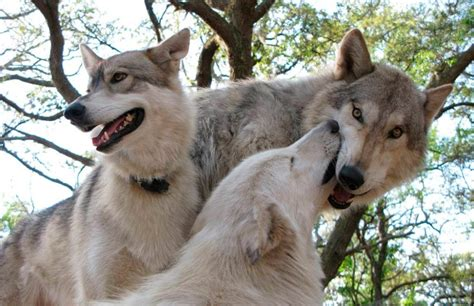 imagenes de animales lobos galer 237 a de im 225 genes perro lobo