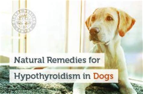 low thyroid in dogs remedies for hypothyroidism in dogs
