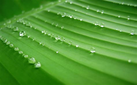 bananas leaf wallpaper 1920x1200 banana leaves desktop pc and mac wallpaper