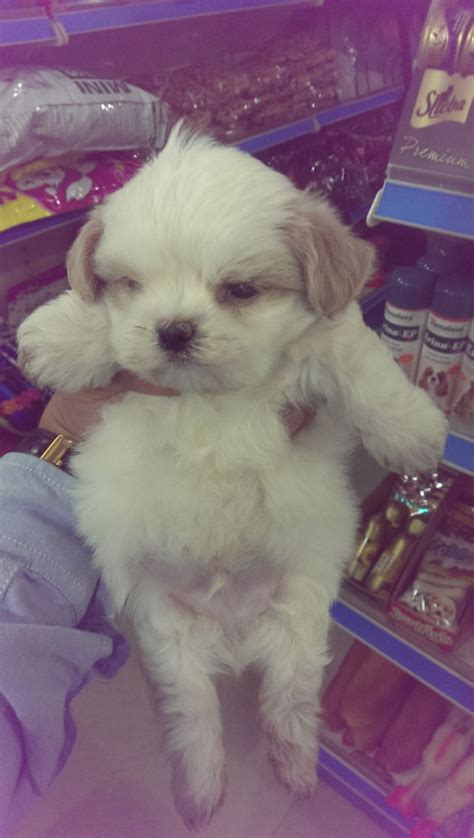 hypoallergenic dogs for sale hypoallergenic puppies for sale dogs for sale breeders kennel kitten