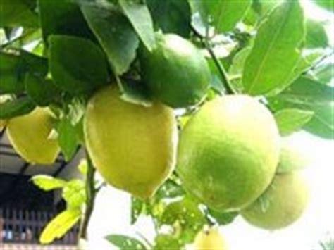 Pelangsingpemutih Drsarahobat Herbal guna jeruk nipis