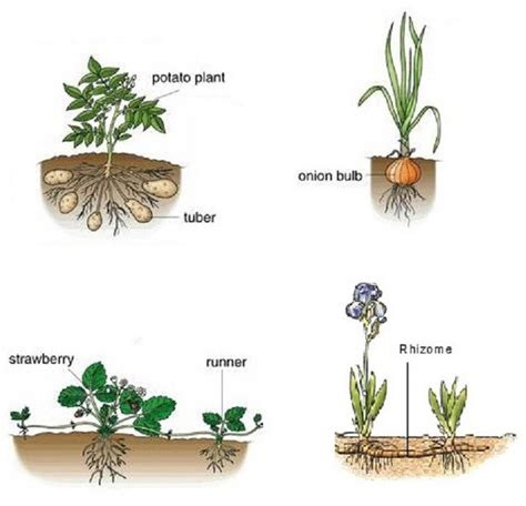 vegetative propagation by roots how does roots take part in vegetative propagation