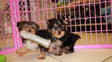 yorkie poo for sale in atlanta ga friendly yorkie poo puppies for sale in atlanta ga at puppies for sale