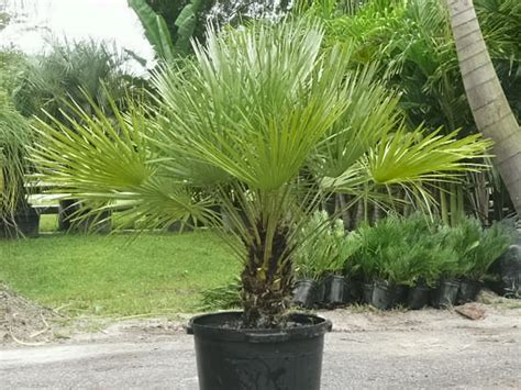 fan palm growth rate container material