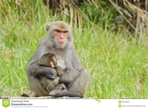 baby monkey feeding time monkey breast feeding baby stock photo image of