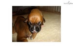 Baby boxer baby boxer puppies boxer baby newborn boxer puppies