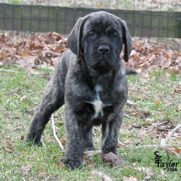 brindle mastiff puppy deepwood acres american mastiffs a to z puppy pictures