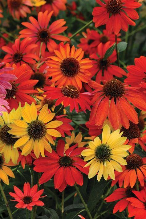 12 top echinacea varieties