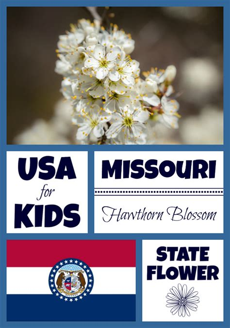 Missouri State Search Missouri State Flower Hawthorn Blossom By Usa Facts For