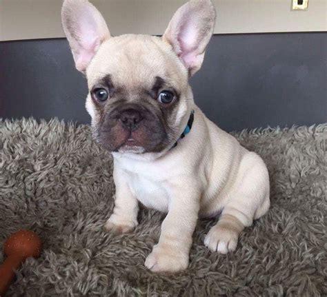 french bulldog for sale uk french bulldog pups for sale birkenhead merseyside