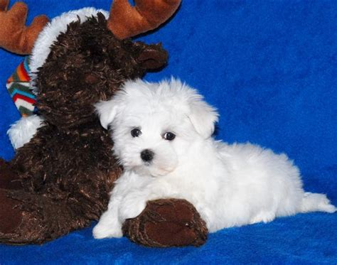 maltese puppies for sale in ma maltese akc puppies free norwich dogs for sale puppies for sale norwich