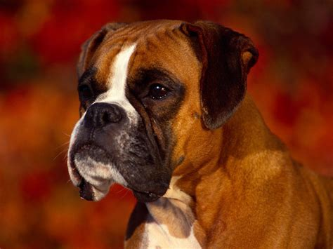 puppy boxers boxers images beautiful boxer hd wallpaper and background photos 13814961