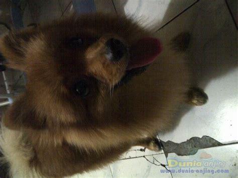 Pom Pom Warna Cur 15mm dunia anjing jual anjing pomeranian mini pom warna coklat