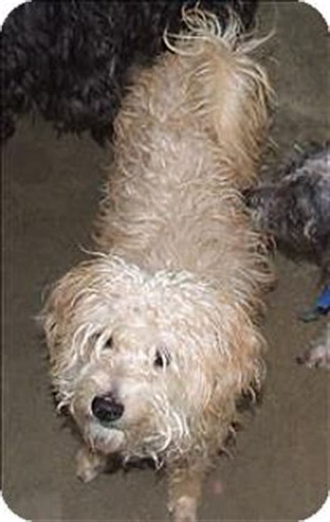 havanese spaniel mix adopted at last chance ranch on 751 pins