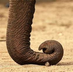 the elephant the largest living land animal the brain