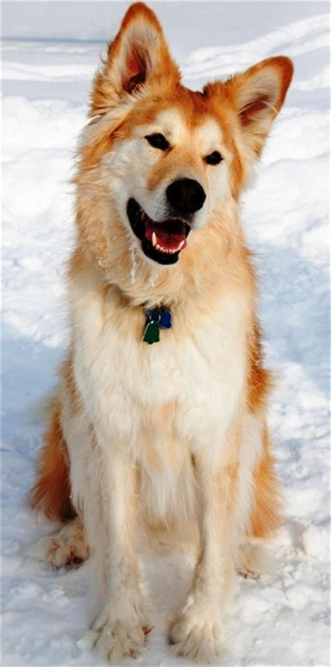 alaskan husky and golden retriever mix golden retriever husky mix