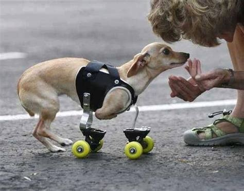 handicap dogs 1000 images about inspiring handicapped dogs on costume puppys and