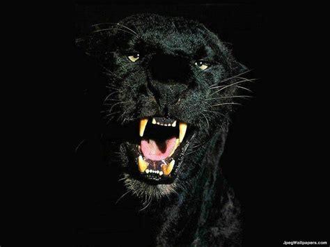 black jaguar hd wallpaper download black jaguar wallpapers wallpaper cave