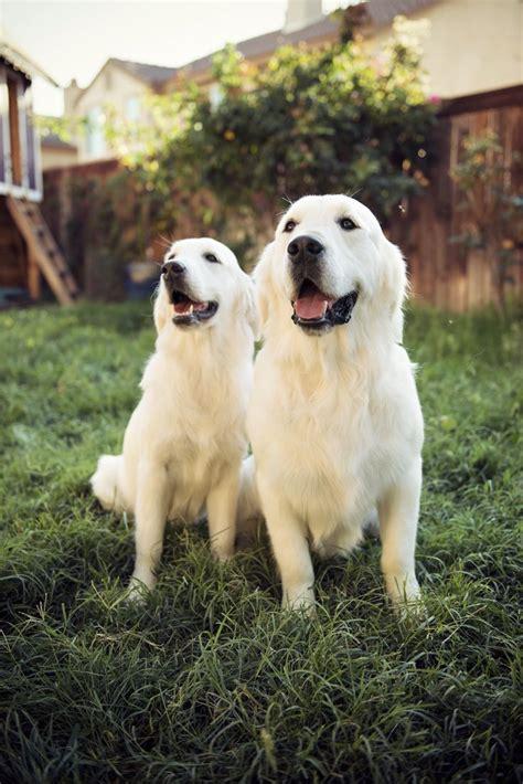 golden retriever puppy white spot on 1000 ideas about golden retrievers on