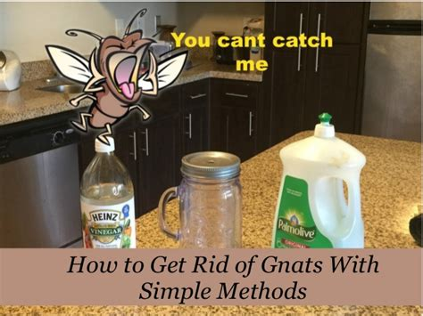 how to get rid of nats in the house how to get rid of gnats with simple methods