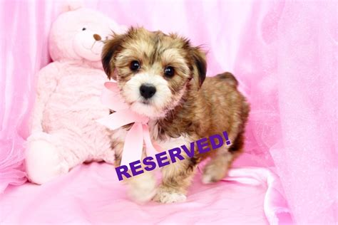 morkie puppies for sale in nc morkie puppies for sale in carolina morkie breeders in nc happytail puppies
