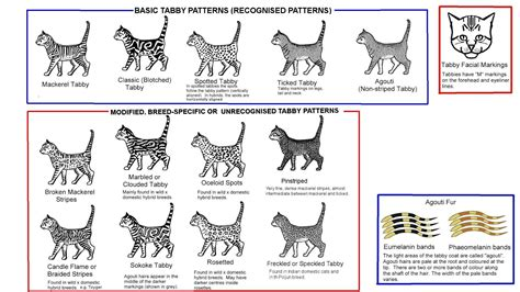 image gallery tabby types
