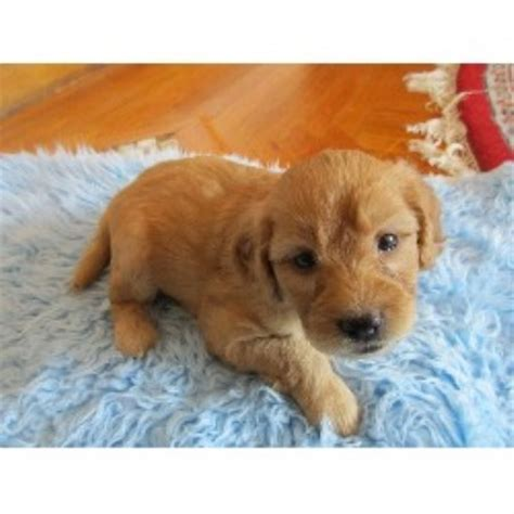 goldendoodle puppies for sale in ct the puppy kennel goldendoodle breeder in glastonbury