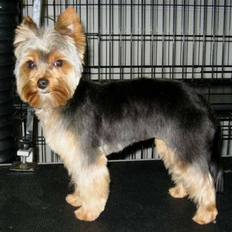 pictures of yorkie haircuts 17 best images about yorkies on pinterest yorkshire