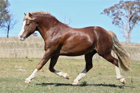 welsh section c height sec c welsh cob stallion welsh horsezone