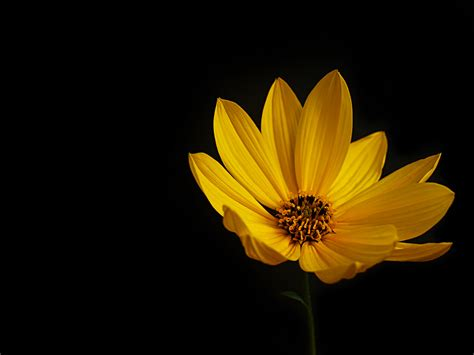 Black Wallpaper With Yellow Flowers | yellow flowers black background