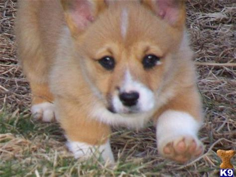 corgi puppies for sale in tn document moved