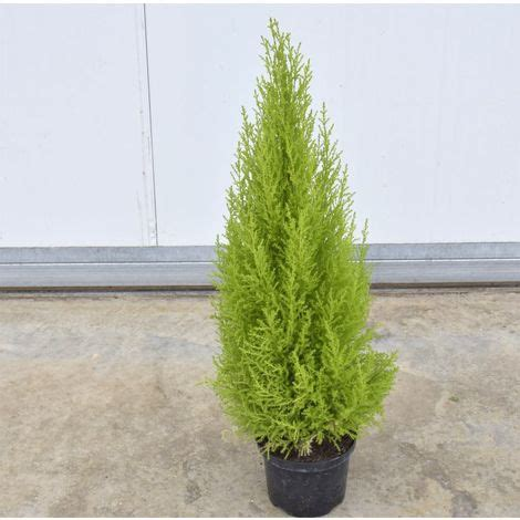 pini da vaso pianta cupressus macrocarpa golden crest vaso 18cm