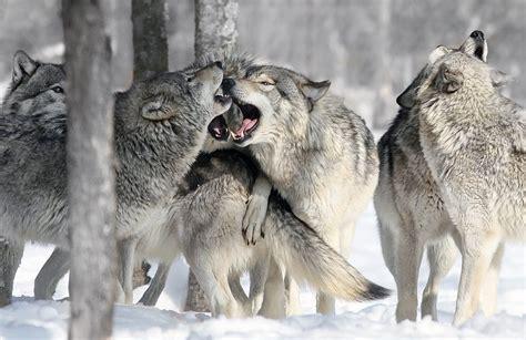 imagenes de animales lobos im 225 genes de una manada de lobos im 225 genes y fotos