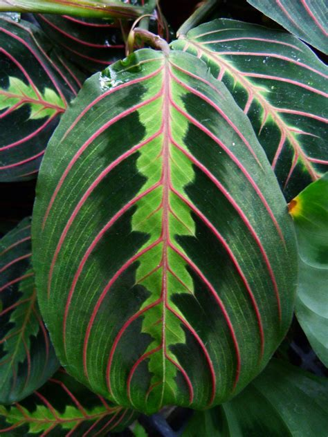 grow prayer plants maranta leucoreura prayer