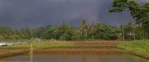 Bibit Ikan Gurame Di Bogor fazendaclarias peternakan gurami parung ciseeng bogor