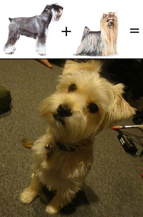 schnauzer yorkie puppies mutt math miniature schnauzer yorkie barkpost