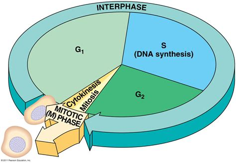 interphase g1 diagram biology 101 gt fitch gt flashcards gt chapter 12 studyblue