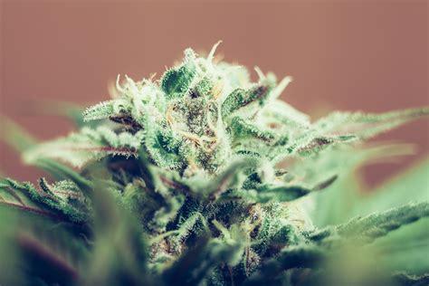 marijuana fiore upg presents types of marijuana strains