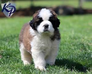 st bernard mix puppies for sale bernard puppy www keystonepuppies keystonepuppies saintbernard