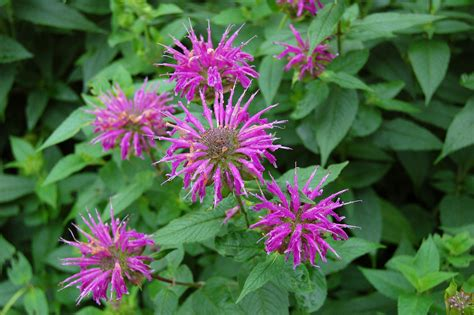 the bee balm plant how to grow and care for bee balm plants
