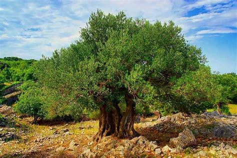 how much does olive trees cost origins of domesticated olive tree revealed