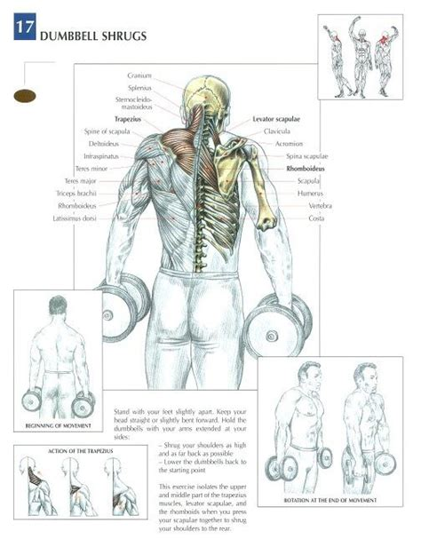 dumbbell shrugs anatomical workout chart