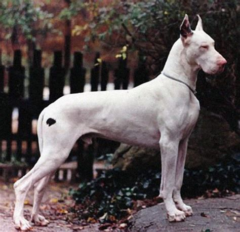 white great dane puppies something is rotten in harlequin danes