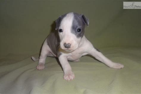 greyhound puppies for sale near me italian greyhound puppy for sale near springfield missouri 5cb39274 22b1