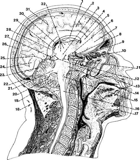 parasagittal section parasagittal anatomy of the head and neck mayo clinic