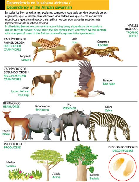cadenas alimenticias carnivoros dependencia en la sabana africana icarito