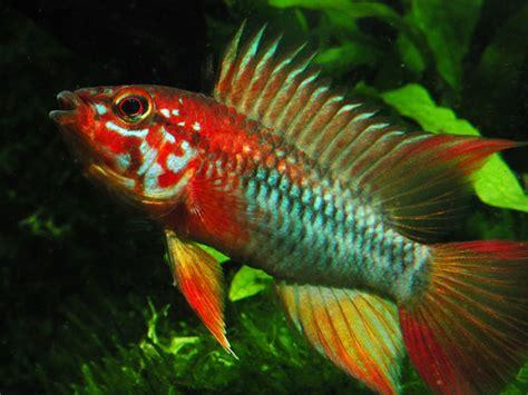 Ikan Apistogramma Indukan apistogramma apistogramma viejita quot quot aquarium