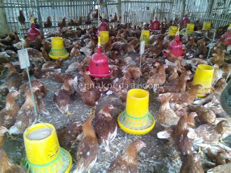 Bibit Ayam Potong Saat Ini harga anakan ayam petelur ternakpedia