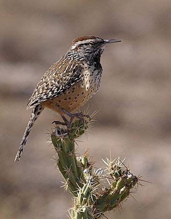 cactus wren pictures and facts birds