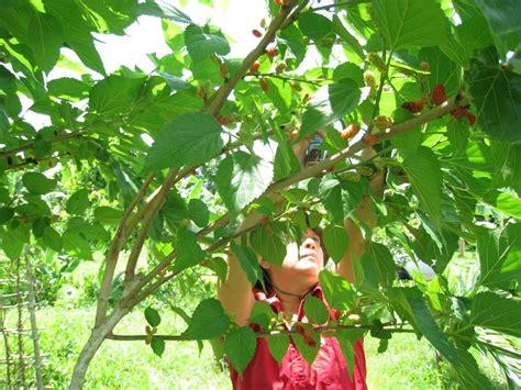 themes of blackberry picking img 42101 santo domingo orchard